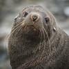 Antarctica Fur Seal, L&R Rothstein 3/22/16