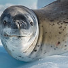 Leopard Seal on Ice, L&R Rothstein, 3/21/16