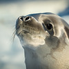 Crabeater seal, L&R Rothstein 3/19/16