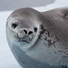 Weddell Seal, L&R Rothstein, 3/14/16