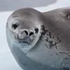 Weddell Seal, L&R Rothstein, 3/14/16