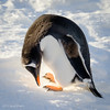 Gentoo penguin eating snow on Boothe Island on March 18, 2016. Photo by Carol Irwin.