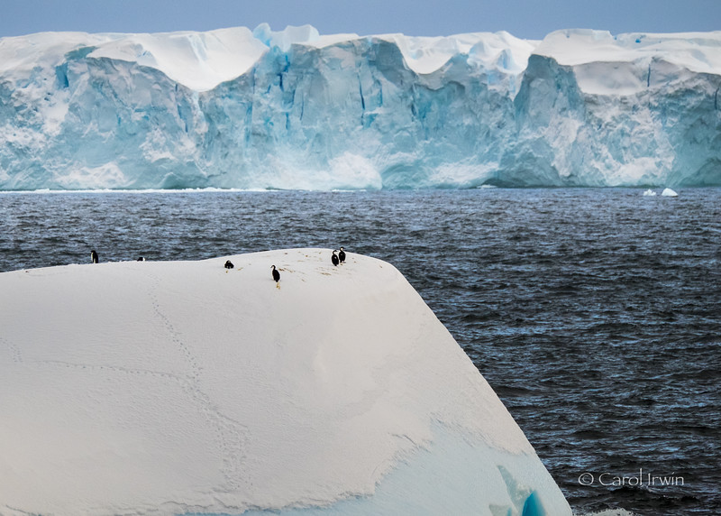 Imperial (blue-eyed) shags and Adelie penguins atop an Iceberg near Detaille Island on March 17, 2016. Photo by Carol Irwin.