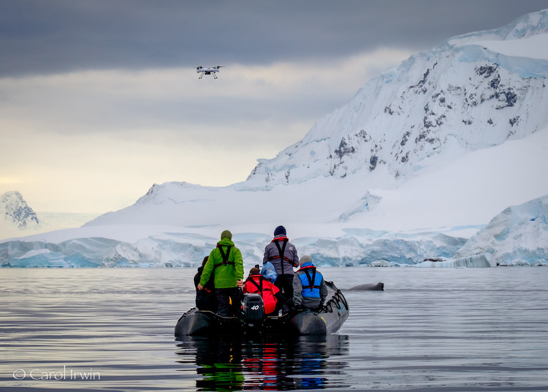 """Ari, Lars, Frederik , National Geographic photographer and videographer, with a  humpback whale and drone overhead. Photo taken by Carol Irwin in Wilhelmina Bay on March 14, 2016. """"This photograph depicts research conducted under the following permits granted to Dr. Ari Friedlaender: NMFS 14809 and ACA 2016-024 and/or permits granted to Dr Fredrik Christiansen and Prof. Lars Bejder (Murdoch University), under permits from the Department of the Environment, Australia, the Environment Protection and Biodiversity Conservation Act 1999 (Cth) (EPBC Act) (Cetacean Permit: 2016-0001), Australia, and under an animal ethics permit from Murdoch University (O2810/16), Australia."""""""
