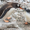 Gentoo Penguin looking for a meal, L&R Rothstein, 3/15/16