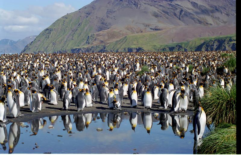 King Penguins on South Georgia Island (2)