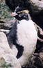 Rockhopper Penguin (2)