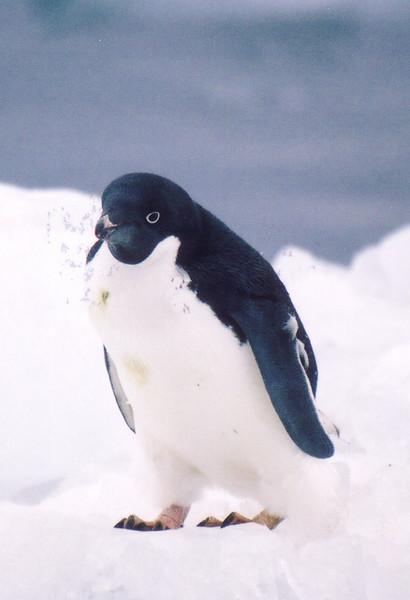 Adelie Penguin (2)