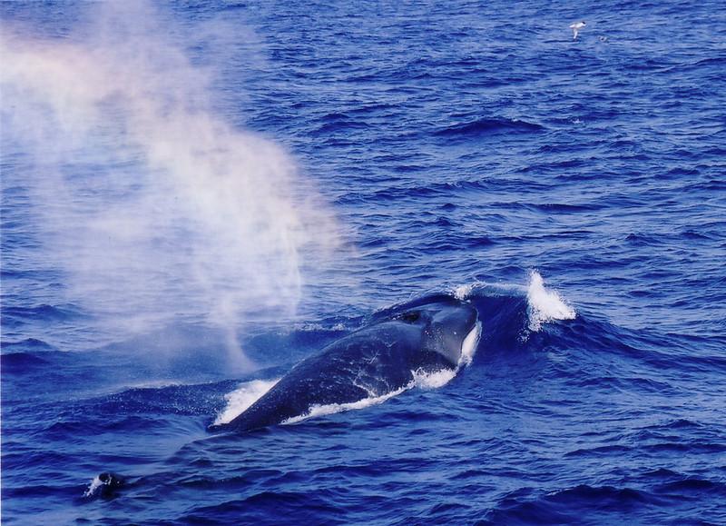 Fin whale (2)
