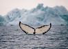 Humpback whale (4)