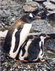 Parent Gentoo Penguin with two babies
