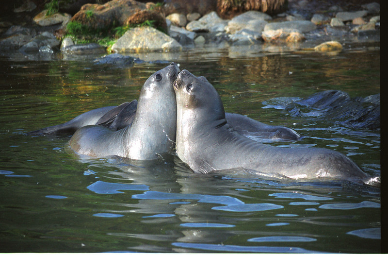 Male baby seals practice fighting