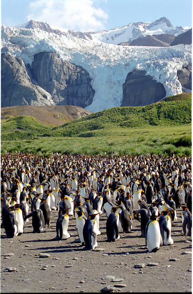 King Penguins on South Georgia Island (3)