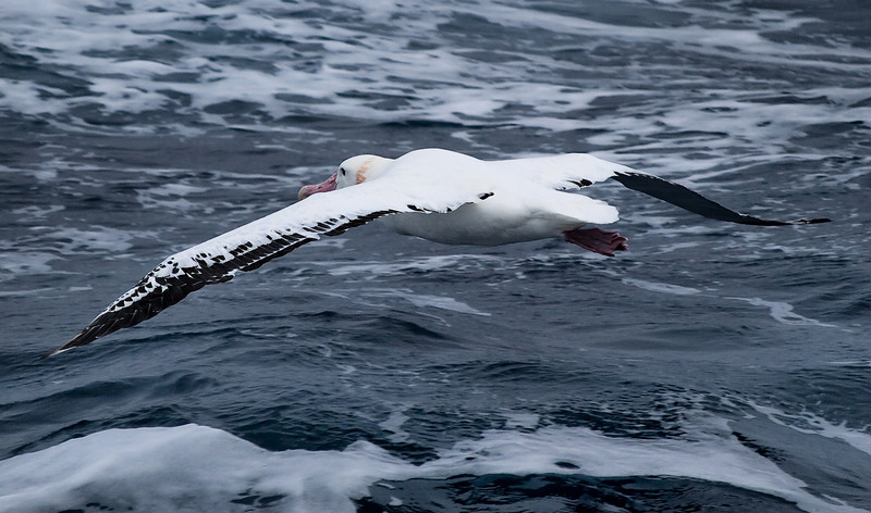 Wandering Albatross<br /> <br /> Olympus E-510 w/ ZD 50-200mm f/2,8-3,5