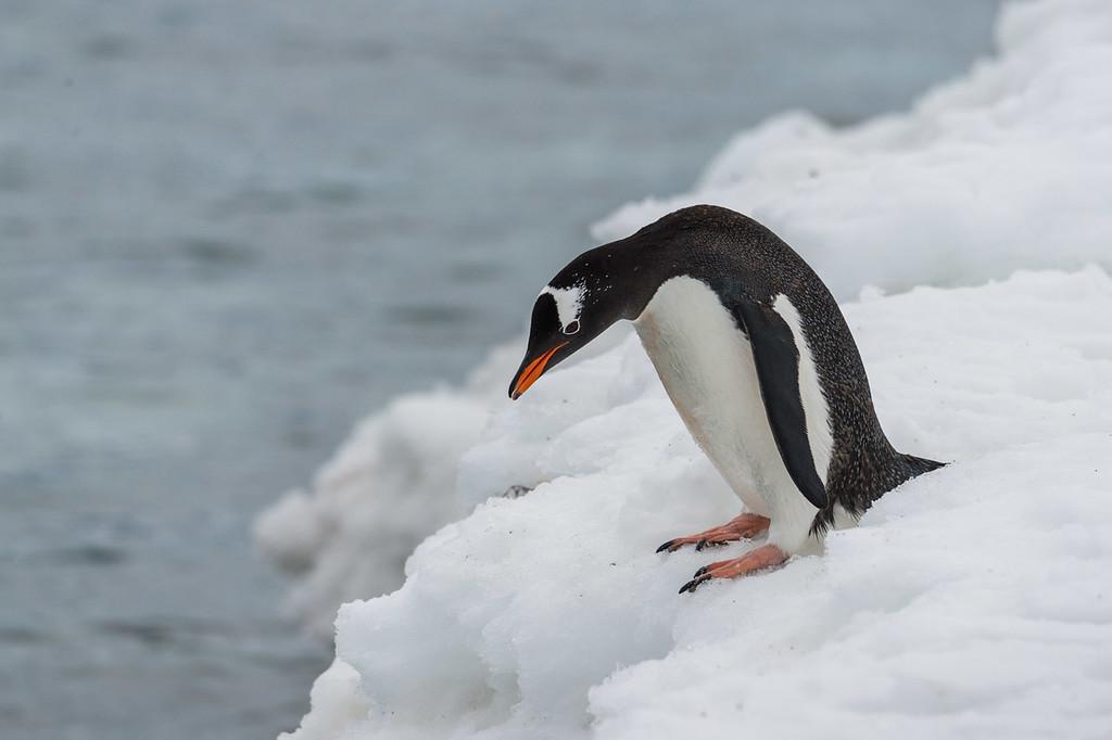 Gentoo penguin, Neko Harbour