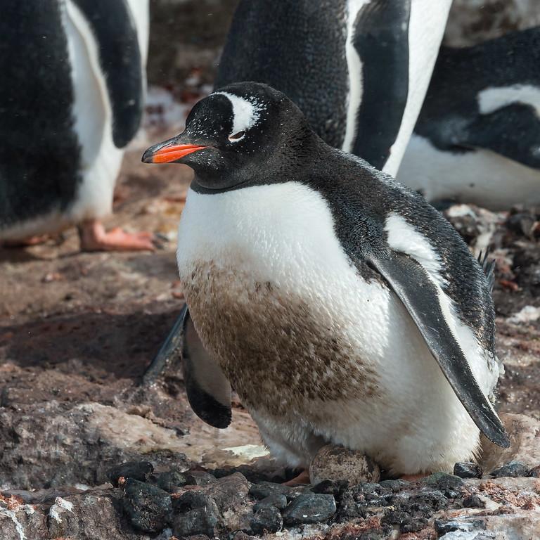 Gentoo penguin on nest, Mikkelsen Harbour