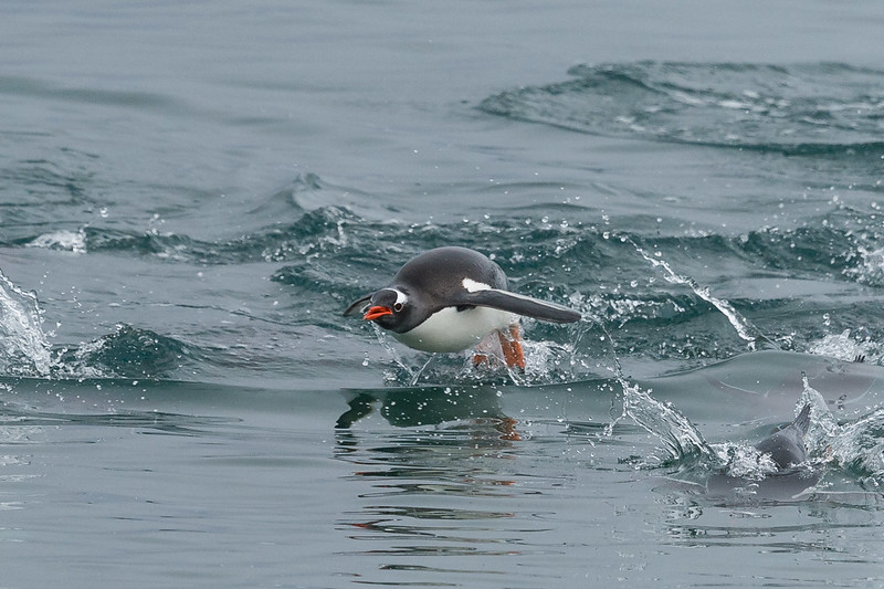 Gentoo penguin porpoising, Neko Harbour