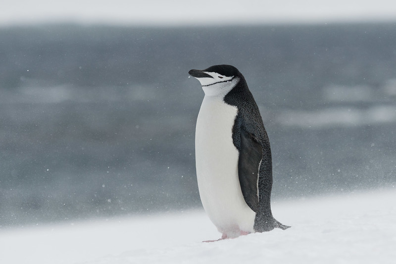 Chinstrap penguin, Mikkelsen Harbour