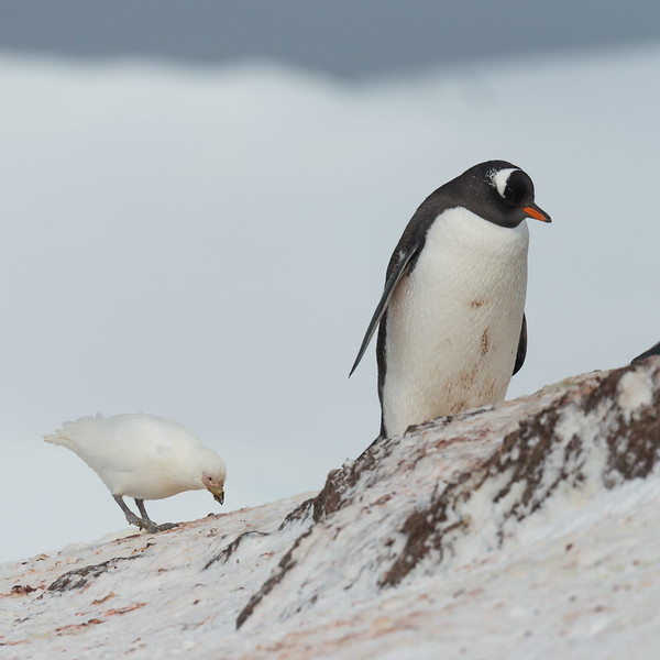 Gentoo penguin and snowy sheathbill, Mikkelsen Harbour