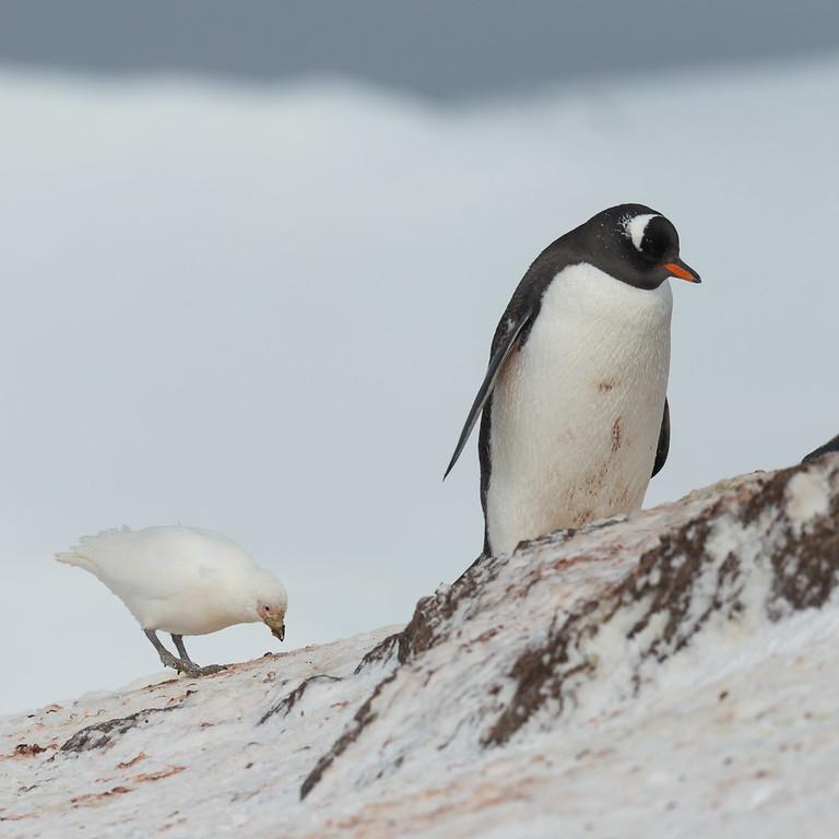 Gentoo penguin and snowy sheathbill, Mikkelsen Harbour