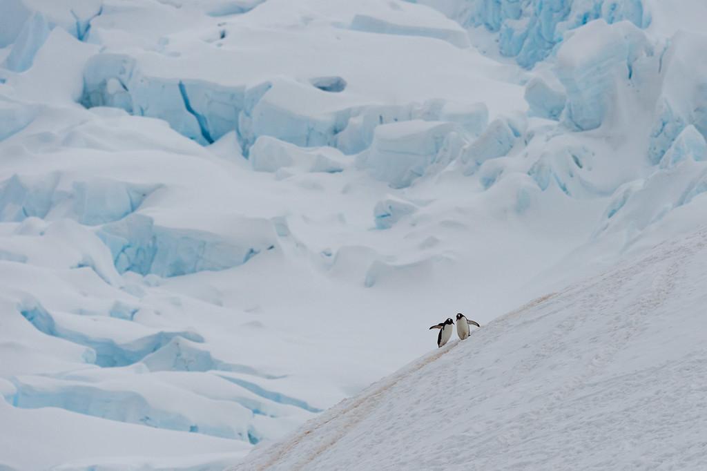 Gentoo penguins, Neko Harbour