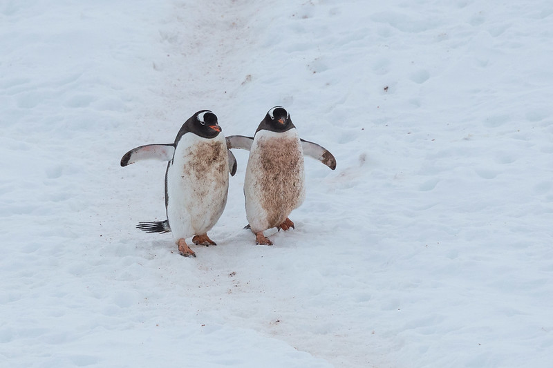 Gentoo penguins, Neko Harbour