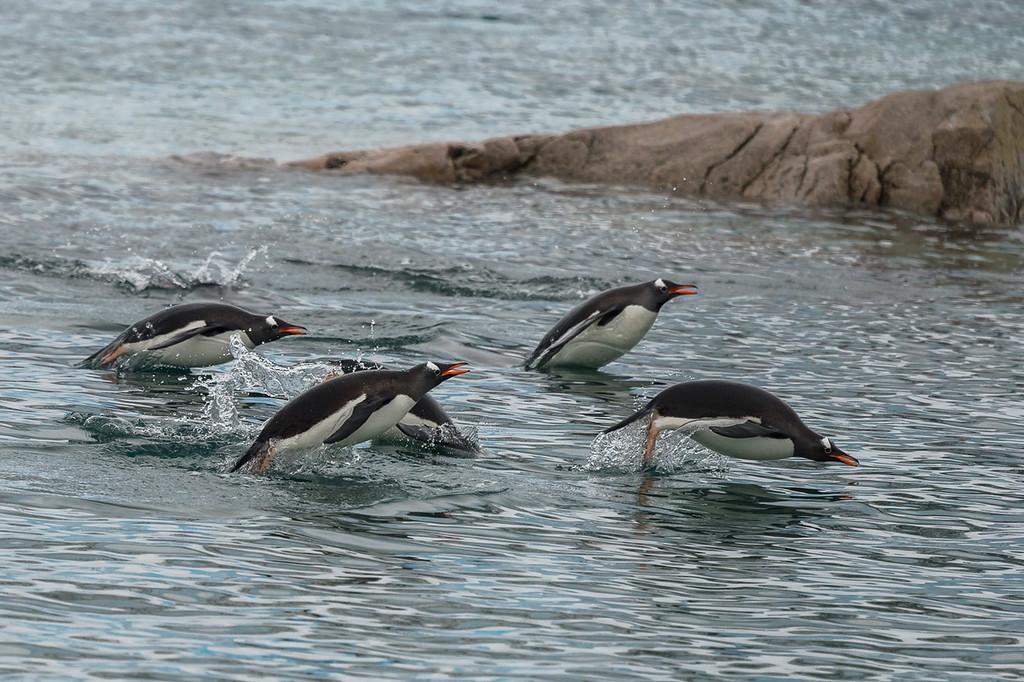 Gentoo penguins porpoising, Neko Harbour
