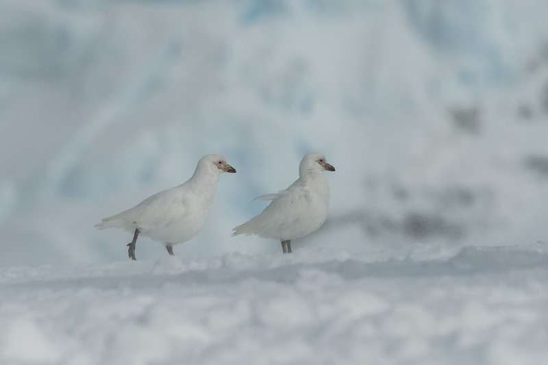 Snowy sheathbills, Mikkelsen Harbour