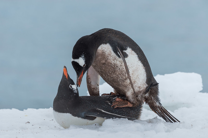 Gentoo penguins mating, Neko Harbour