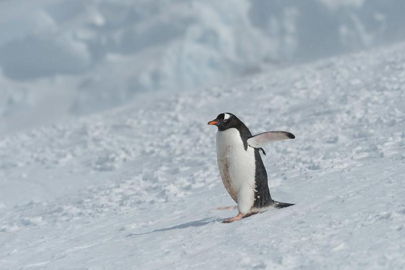 Gentoo penguin, Mikkelsen Harbour