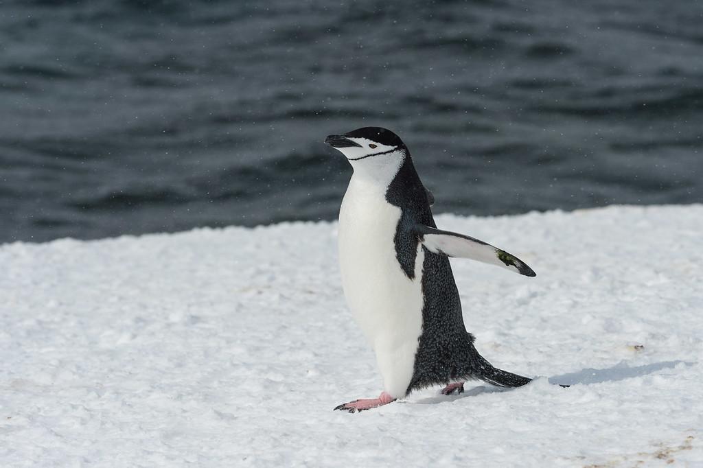 Chinstrap penguin, Mikkelsen Harbour