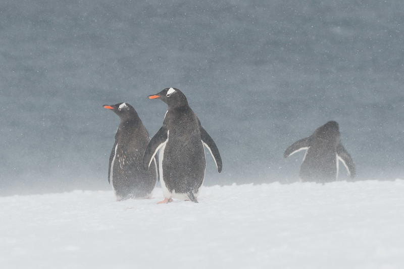 Gentoo penguins, Mikkelsen Harbour