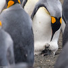 Newly hatched King penguin chick peaks out from its mother's feet.