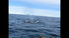 Humpback Whales from Zodiac with Ted Cheeseman 2009
