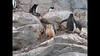Gentoo Penguins 2009.  It's low def but still lots of fun.