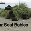 Fur Seal Babies.  Way beyong cute at this age.  Not as cute later.