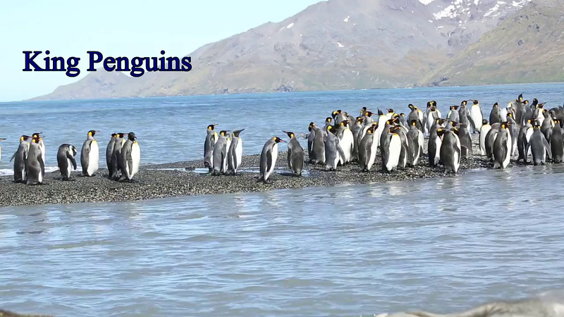 King Penguins.  Later in the video watch a juvinile go on a hunt for MOM.