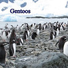 Gentoo Penguins 2015