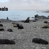 Fur Seals.  Interesting but never in a Good mood.