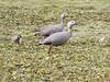 ab4 upland goose