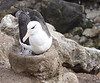 BlackBrowedAlbatrosWithChicks (5)