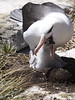 BlackBrowedAlbatrosWithChicks (7)