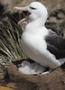 BlackBrowedAlbatrosWithChicks (11)