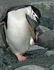 ChinstrapPenguin (7)