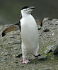 ChinstrapPenguin (16)