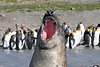 Elephant Seal South Georgia-24