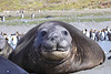 Elephant Seal South Georgia-21