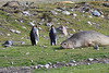 Elephant Seal South Georgia-10