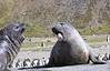 Elephant Seal South Georgia-13