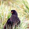 Striated Caracara in the Falklands